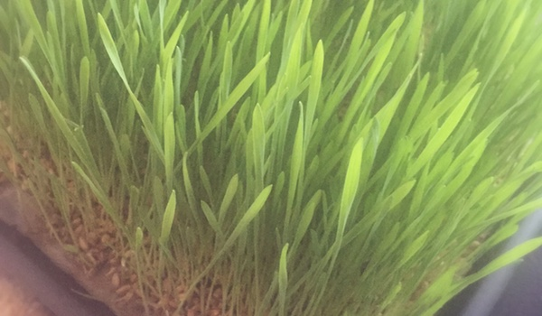 Weizengras zum selber pflanzen